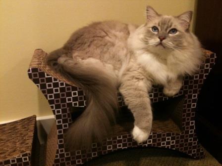 Imperial Cat Perch 'n Lounge Tower Scratch 'n Shape Scratcher Review3