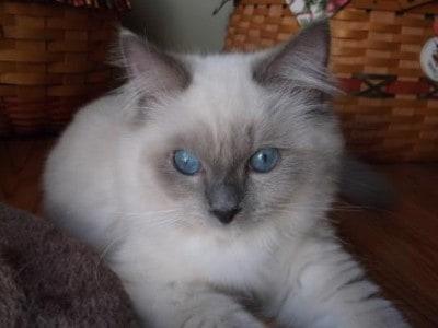 Jazz – Ragdoll Kitten of the Month