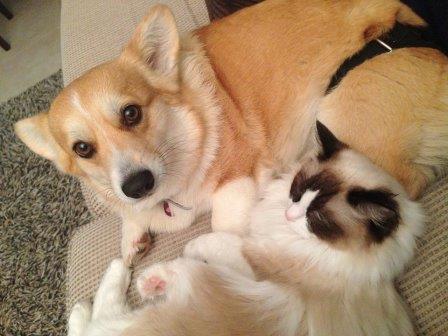 Ragdoll cat and Corgi Dog