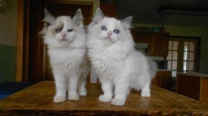 Josie on the left & Annie on the right the breeder sent me. How could you choose between the 2!!!