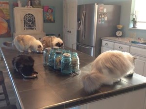 meal time. The little black kitty is Lola, she's a rescue. She's not a Ragdoll but we love her.