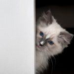 Milo – Ragdoll Kitten of the Month