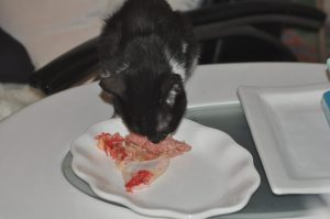 "Celeste, a foster kitten and the first cat I fed raw. I started with ground turkey and a whole piece of chicken in which I whacked the bone with a hammer and ""ribboned"" the meat."