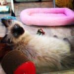 Sookie – Ragdoll Kitten of the Month