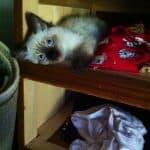 Stella – Ragdoll Kitten of the Month