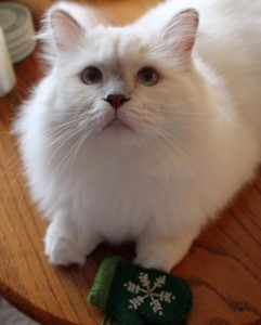 LokiXmas 241x300 Loki   Ragdoll of the Week