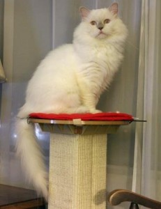 LokionPedestal 231x300 Loki   Ragdoll of the Week