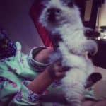 Valentino – Ragdoll Kitten of the Month