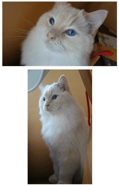 Cream Point Ragdoll Cat Jaffa
