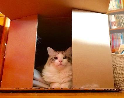 Ragdoll Cat in a Macys Box