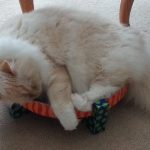 Pictures of Ragdoll Cats on the Petstages Easy Scratch and Rest