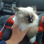 Top 5 Mistakes Cat Breeders Make with People Adopting Their Cats