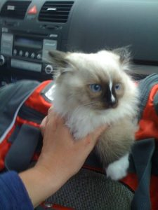 Charlie Seal Mitted Ragdoll Kitten with a Blaze Copyright Floppycats