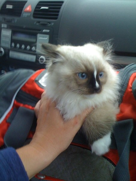 Ragdoll Names: Help Finding the Perfect Kitten's Name
