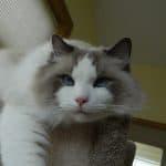 Chronic UTIs in a Ragdoll Cat: Need Reader Input