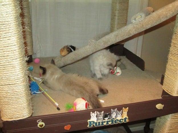 Ragdoll Cat Catification 2