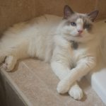 Ragdoll Cat Dolly Fitzgerald with Paws Crossed loved by Gina