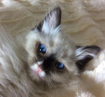Ragdoll Kitten with Whiskers Biten Off