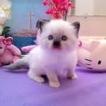 Mystra – Ragdoll Kitten of the Month