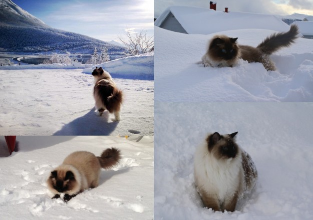 Prince and Felix - Ragdolls of the Week 2