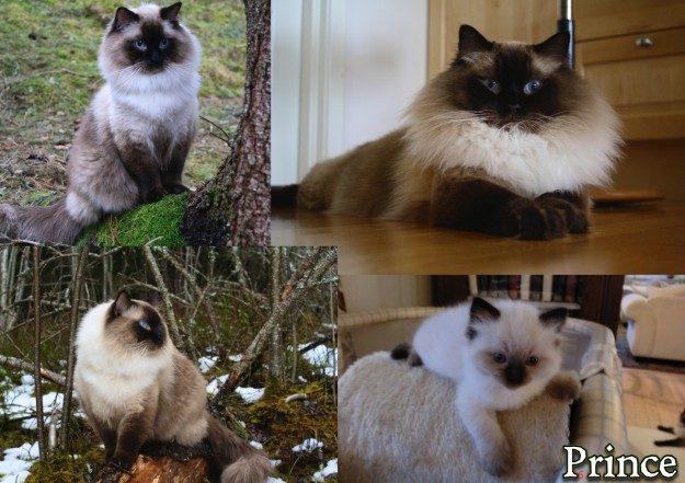 Prince and Felix - Ragdolls of the Week 8