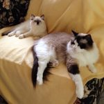 Rocky and Lucky – Ragdolls of the Week