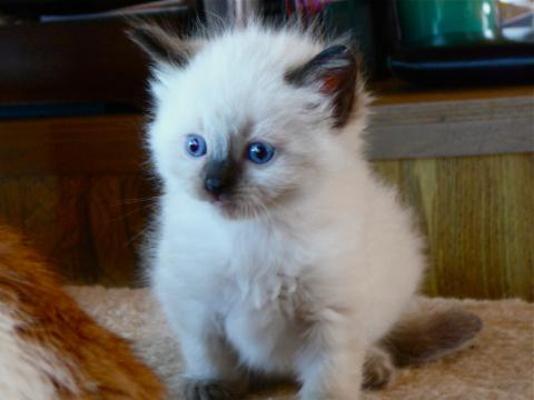 angelkissed rag doll kittens available for ragdoll cat adoption