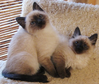 Ragdoll Cat Adoption Texas: Lizzie & Laura - Ragdoll Rescue