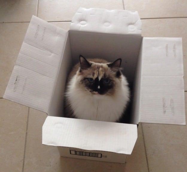 Ragdoll Cat Mia in a box