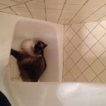 Pictures of Ragdoll Cats in Bathtubs