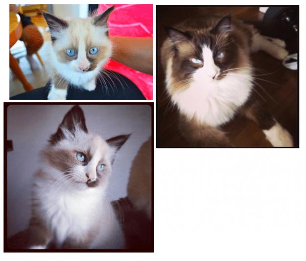 Ragdoll Cat with a Blaze - Jax
