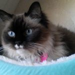 Lilly – Ragdoll of the Week