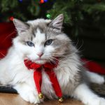 Gus – Ragdoll of the Week