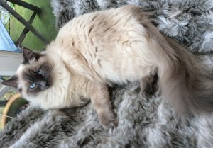 Ragdoll Cat Lulu Moulting and Human Allergies