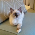 Zoe – Ragdoll Kitten of the Month