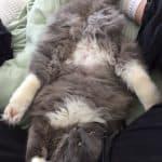Luna – Ragdoll Kitten of the Month