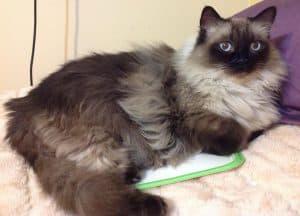 Ragdoll Cat Color Change After Shaving Fur