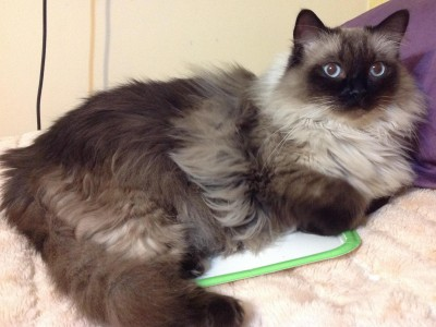 Ragdoll Cat Color Change After Shaving Fur