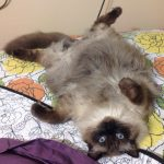 Stanlee – Ragdoll of the Week