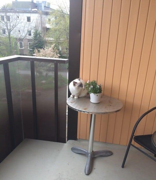 Kasya - Ragdoll Kitten of the Month 2