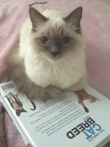 Kasya - Ragdoll Kitten of the Month 4