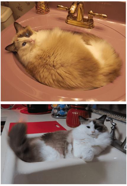 Ragdoll Cat Bandit in Sink