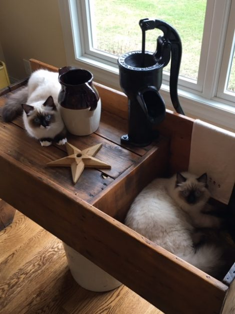 Ragdoll Cats Clark and Addison in a Dry Sink