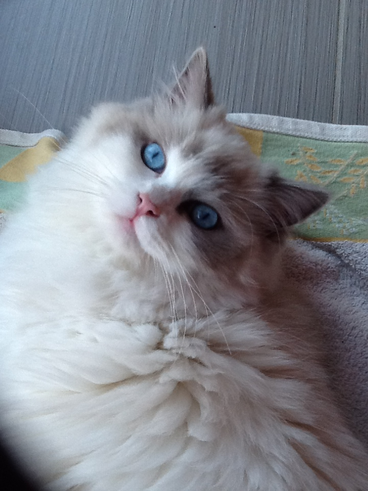 Parker James - Ragdoll of the Week