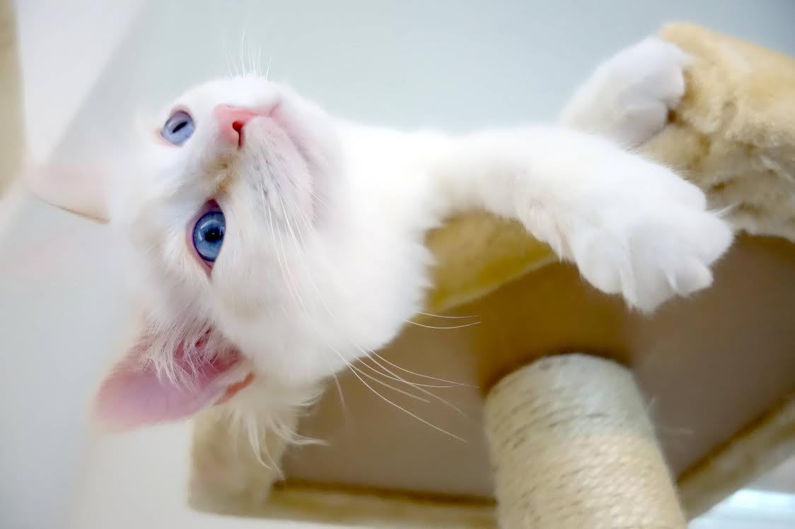 Peach - Ragdoll Kitten of the Month 5