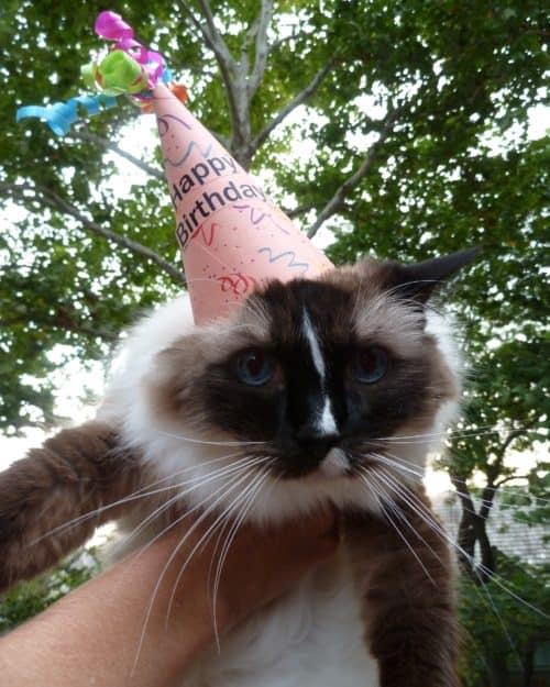 Ragdoll Cat Murphy Happy Birthday Photo 2015 2