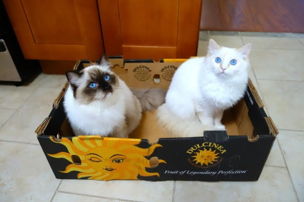 Peach - Ragdoll Kitten of the Month 11