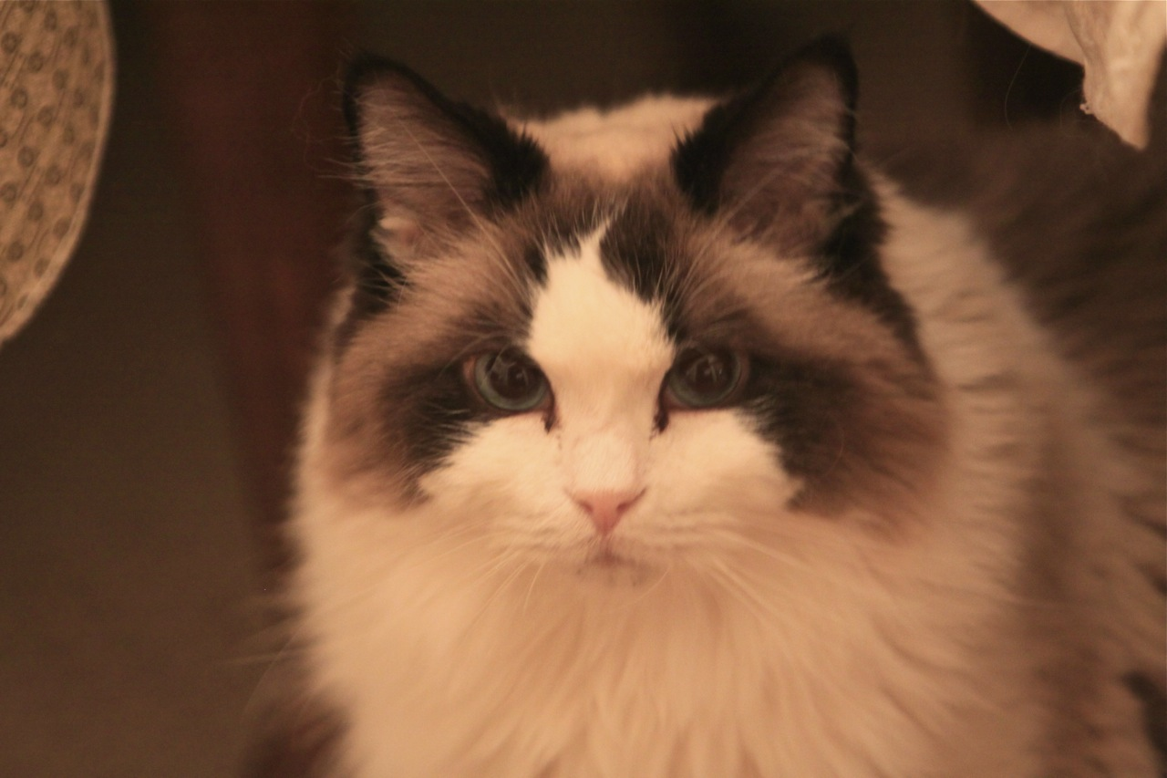 Gypsy - Ragdoll of the week 5