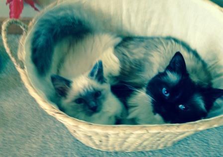 Sophie - Ragdoll Kitten of the Month 2