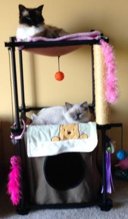 Sophie - Ragdoll Kitten of the Month 4